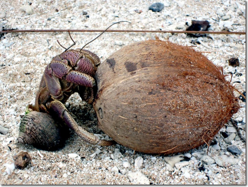 Coconut Crab - Facts, Habitat, Diet and Information